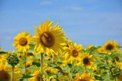Ternyata Ini Alasan Bunga Matahari Selalu Menghadap Sinar Matahari Tribun Jabar