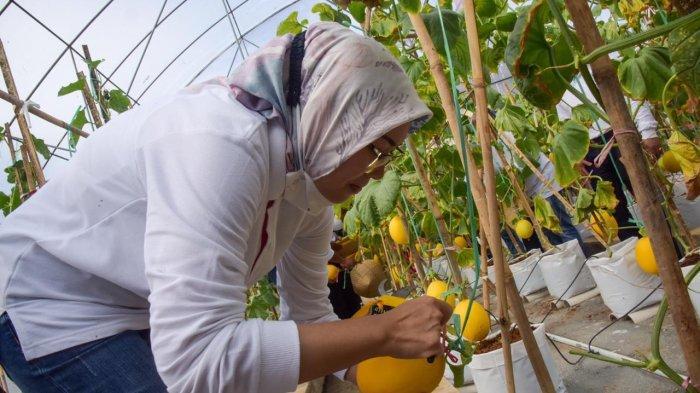 Diuji Coba di Kebun Ambu, Bupati Purwakarta Minta Petani Tanam Bawang Merah, Ini Keuntungannya