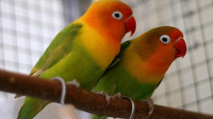 Tiga Kesalahan yang Kerap Dilakukan Orang yang memelihara Burung di Dalam Sangkar