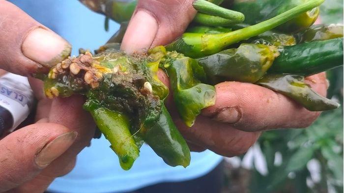 Tanaman Cabai Merah di Argapura Terserang Hama, Petani Akui Hasil Panen Menurun
