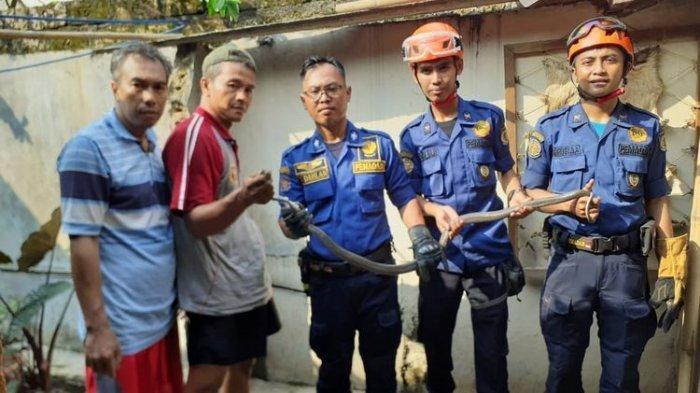 Teror Ular Kobra Masih Berlanjut, Damkar Temukan 26 Ular Kobra di Bawah Fondasi Rumah Warga
