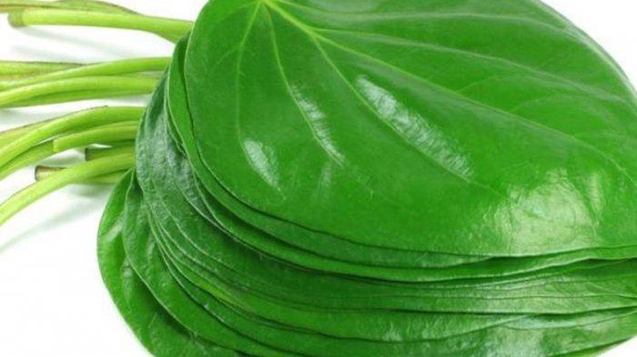 daun sirih dan manfaatnya