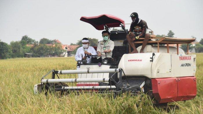 Hama Wereng Putih Serang Kuningan, Padi Tetap Akan Dipanen tapi Hanya untuk Pakan Ternak