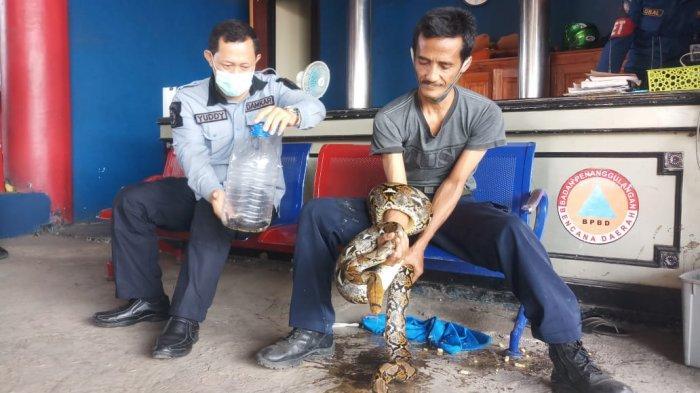 Diskar PB Purwakarta Sudah Evakuasi Lima Ular yang Masuk ke Rumah Warga, Kebanyakan Ular Cobra