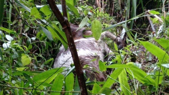 Macan Tutul Turun Gunung Sawal, Berhasil Terkam Domba dari Kandang Hingga Mati Saat Dibawa ke Hutan