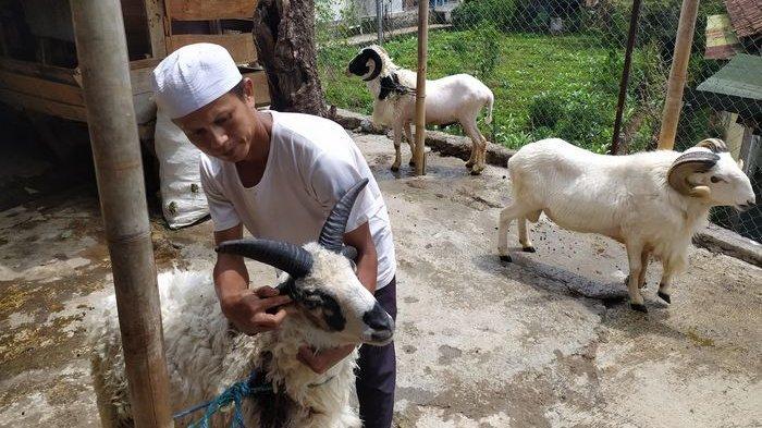 Domba Bertanduk Lima Pecahkan Rekor, Selalu Diberi Jamu Nafsu Makan Pemilik Berniat Menjualnya
