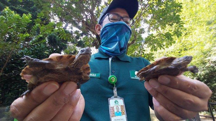 Ilustrasi: Kurator Reptil Bazoga, Panji Ahmad Fauzan, memperlihatkan dua anak kura-kura ceper.