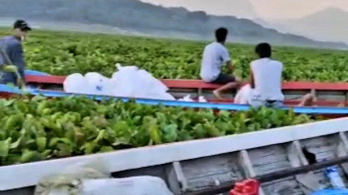 Eceng Gondok Buat Bandar dan Petambak Ikan di Jatiluhur Rugi Besar, Jalur Distribusi Terhambat
