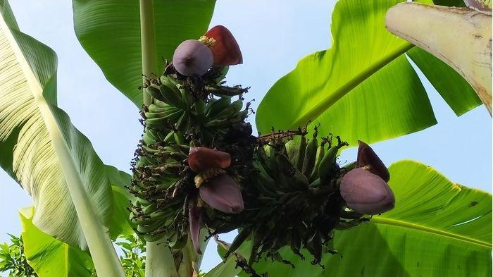 Sering Dibuang, Ternyata Ini Manfaat Batang Pohon Pisang, Bisa Cegah Penyakit Paling Ditakuti