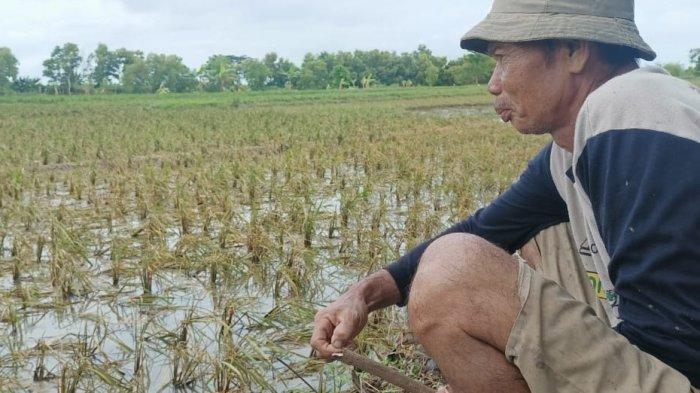 Hampir Panen, Ribuan Hektar Sawah Terendam Banjir, Petani Hanya Bisa Pasrah