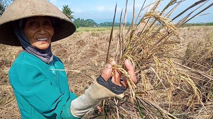 Nestapa Petani di Pangandaran di Tengah Pandemi, Alami Gagal Panen, Gabah Padi Pun Dibakar