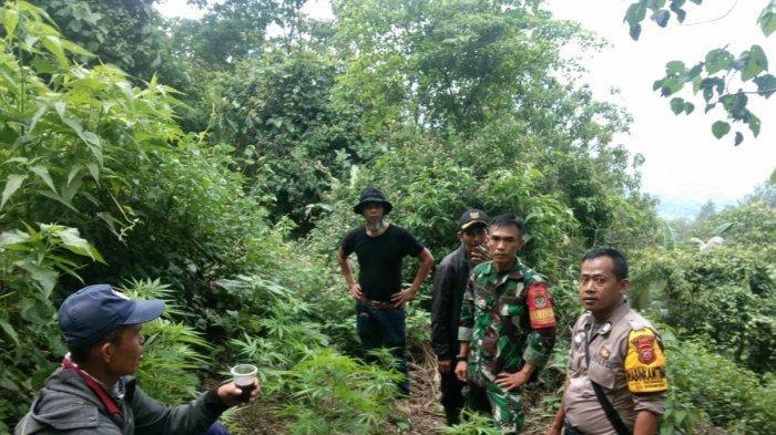 Petugas Gabungan Kembali Telusur Gunung Guntur, Antisipasi Ladang Ganja Lain