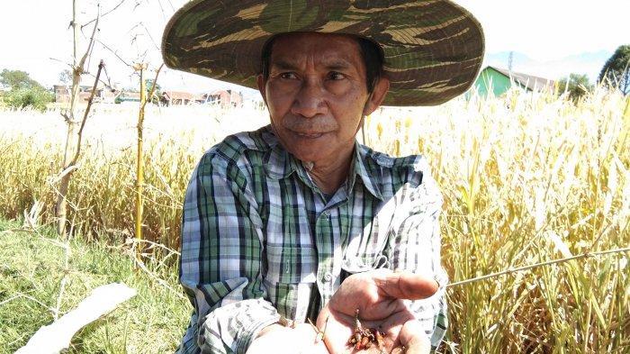 Ratusan Hektare Kebun Jagung di Garut Diserang Hama Ulat, Malangbong dan Banyuresmi Paling Parah