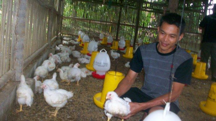 Harga Ayam Broiler Kembali Anjlok di Bawah BPP di Tingkat Peternak Ciamis