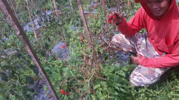 Jelang Bulan Puasa 40 Hektare Cabai Memasuki Masa Panen, Harga Diharapkan Bisa Kembali Normal