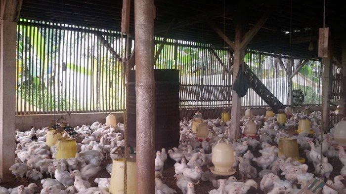 Menjelang Tahun Baru, Harga Ayam Pedaging dan Telur Ayam Ras di Peternak di Ciamis Terus Naik