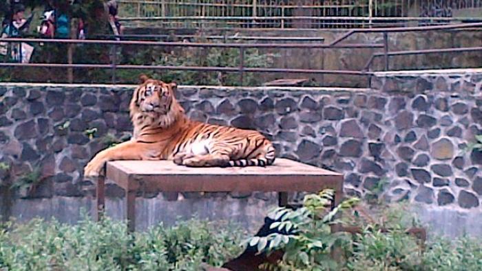 Uang Jatah Pakan Harimau Ditilap untuk Angsuran Mobil dan Motor