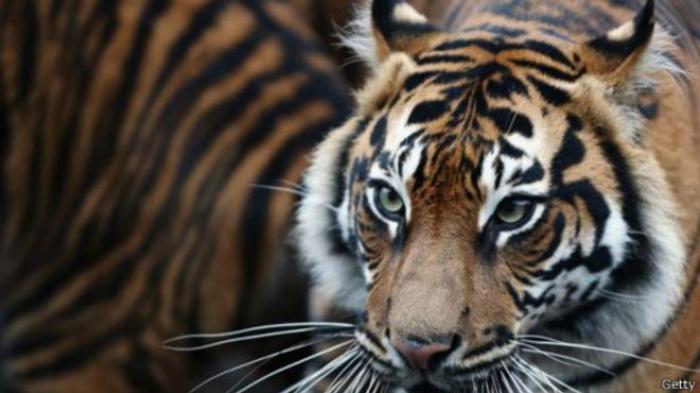 Lihat Istrinya Diterkam Harimau, Usman Nekat Halau Hewan Dilindungi Itu hingga Pergi