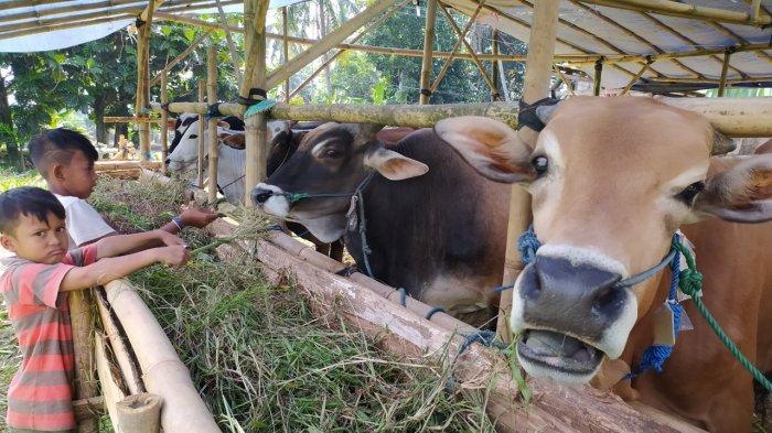 Harga Sapi Lokal untuk Kurban Iduladha di Cianjur di Kisaran Rp 23-27 Juta, Masih Bisa Nego