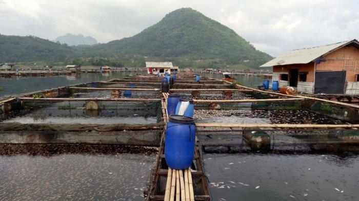 Puluhan Ton Ikan KJA Jatiluhur Mendadak Mati