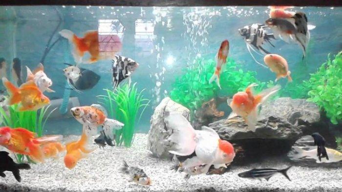 Ini Lho 8 Jenis Ikan Hias Yang Bisa Anda Pelihara Di Rumah Halaman All Tribun Jabar