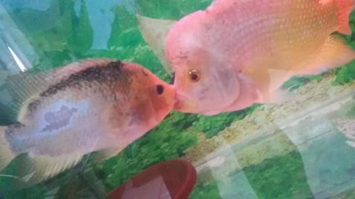 Sepasang Louhan Ciuman Apa Artinya Tribun Jabar