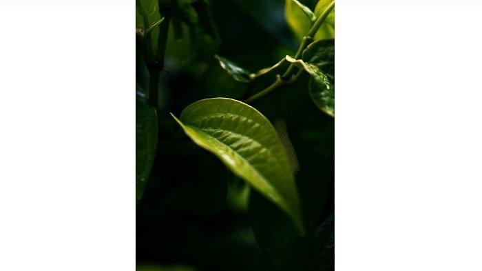 ilustrasi - efek samping daun sirih