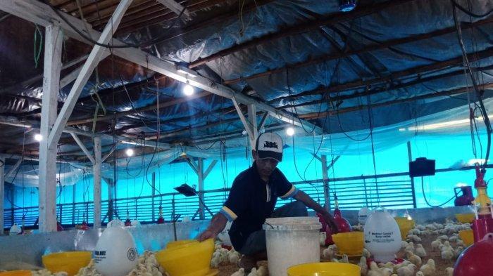Harga Ayam Broiler di Tingkat Peternak di Ciamis Turun Drastis, Terdampak Banjir di Jabodetabek
