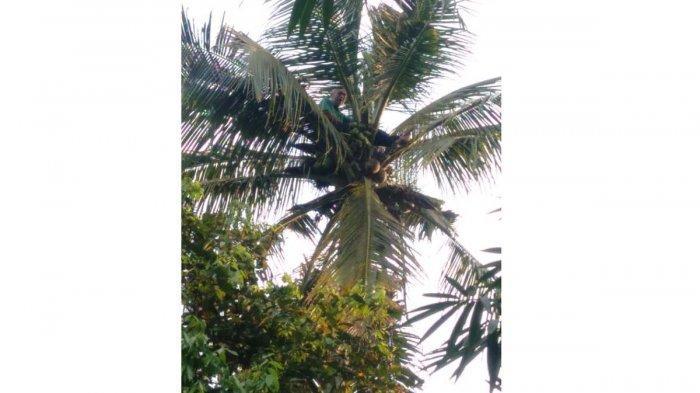 Coba Bunuh Diri, Kakek Encung Nangkring di Pohon Kelapa Sejak Sore sampai Malam