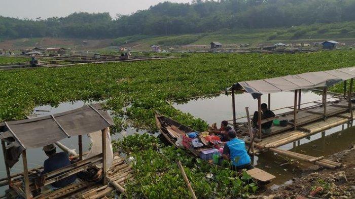Keberadaan Eceng Gondok Masih Menjadi Teror Menakutkan Bagi Petani Ikan di Cianjur