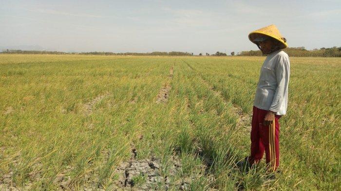 20 Hektare Sawah di Kota Tasikmalaya Gagal Panen, tapi Petani Gak Rugi, Ini Penyebabnya