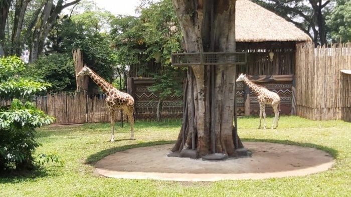 Kemal dan Tania, Jerapah Asal Afrika Ini Siap Sambut Pengunjung Kebun Binatang Bandung