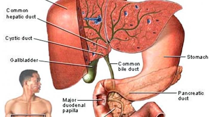 Ilustrasi bagian dalam tubuh manusia.