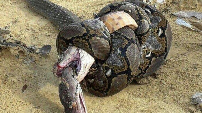 Duel Mematikan, Raja Kobra Perlu Sekali Patukan untuk Membunuh Ular Piton Lalu Melumatnya