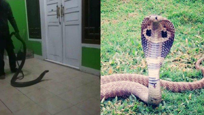 Ngeri, Ular King Kobra Masuk ke Rumah Warga di Cicadas, Masuk Kamar Sembunyi di Bawah Tempat Tidur