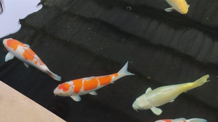 WAH, Harga Indukan Ikan Koi Kohaku Rp 27 miliar, Kini Ada di Cianjur, Ternyata Ini Keistimewaannya