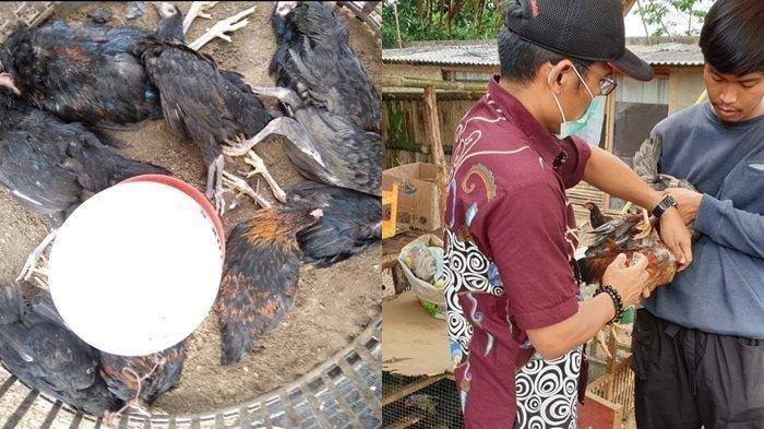 400 Ayam di Palembang Mati karena Flu Burung, Dokter Ingatkan Masyarakat Soal Ini