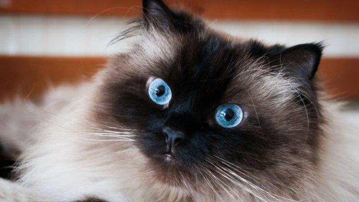 Cat Lovers Yuk Kenali Lebih Jauh Jenis Kucing Himalayan Sebelum Anda Putuskan Memeliharanya Halaman All Tribun Jabar
