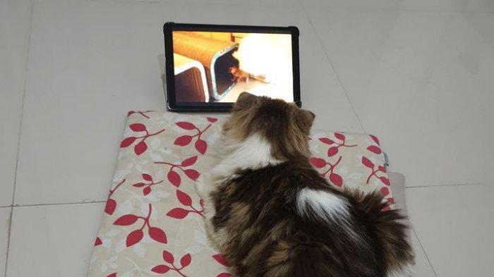 Kucing Scottish Fold, Si Kepo dan Ramah, Memeliharanya Tidak Repot, untuk Adopsi Butuh Jutaan Rupiah