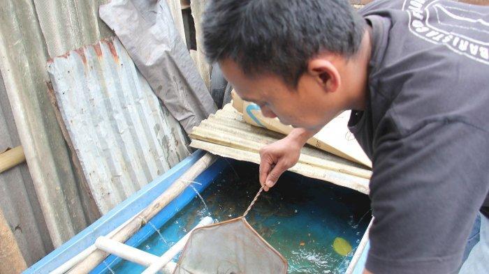Ekspor Benih Lobster oleh Edhy Prabowo, Pengusaha Benur Pangandaran Sebut Lebih Baik Budidaya