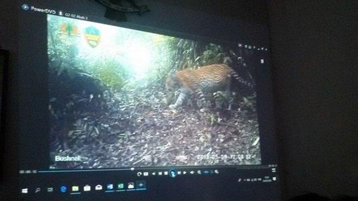Macan di Gunung Sawal Ciamis Masuk Kampung, Terkam Ternak Warga, Belum Diketahui Si Abah atau Bukan