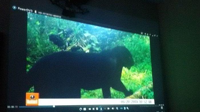 Sejumlah macan tutul dan macan kumbang penghuni Gunung Sawal terlacak kamera pengintai. Ada 9 ekor macan yang keberadaannya terlacak 18 kamera pengintai di hutan suaka marga satwa Gunung Sawal tahun 2019.