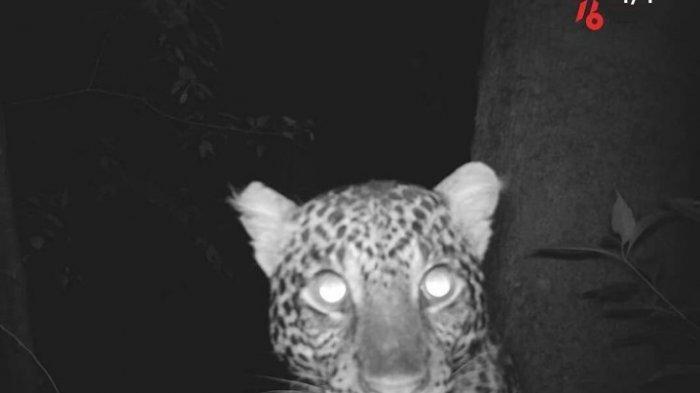Macan Tutul Penghuni Gunung Sanggabuana Mangsa Empat Kambing Milik Warga Karawang