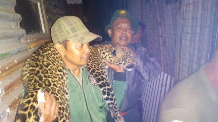Macan Tutul Ditemukan Tergeletak di Kebun Kopi Kawasan Pegunungan Malabar, Diduga Mati Kelaparan