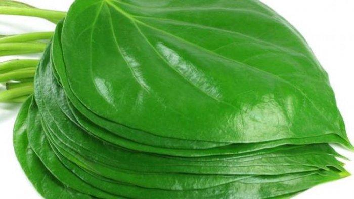 Ilustrasi - Manfaat daun sirih merah untuk mengatasi jerawat