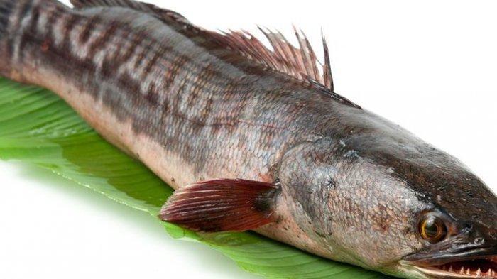 Kaya akan Manfaat, Ikan Gabus Terbukti Dapat Mempercepat Penyembuhan Luka, Begini Penjelasannya