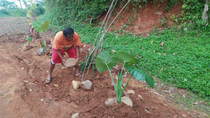 Warga Tanami Jalan Rusak di Cianjur dengan Pohon Pisang, Dinas PUPR Sebut Perbaikan Segera Dilakukan