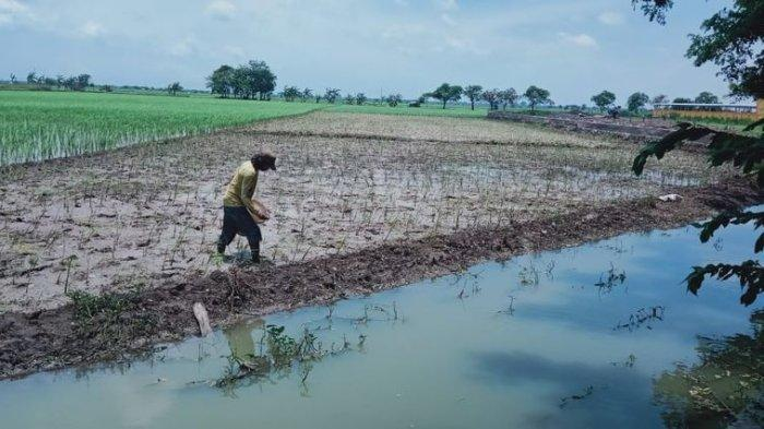 Banjir Rendam Area Persawahan, Para Petani di Indramayu Mesti Tanam Ulang Padi