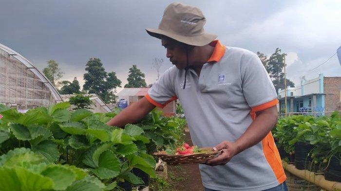 Baru Enam Bulan Bertani Strawberry di Lahan Tak Terpakai, Petani Ini Sudah Raup Omzet Puluhan Juta