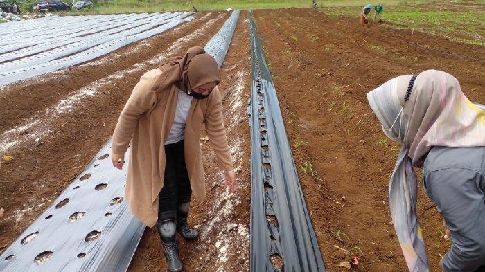 Cerita Petani Umbi Porang di Ciamis, Saat Harga Turun, Mereka Malah Masih Untung hingga 50 Persen